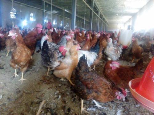 فروش تخم مرغ محلی دربیرجند